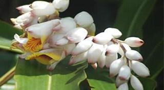 沖縄の月桃